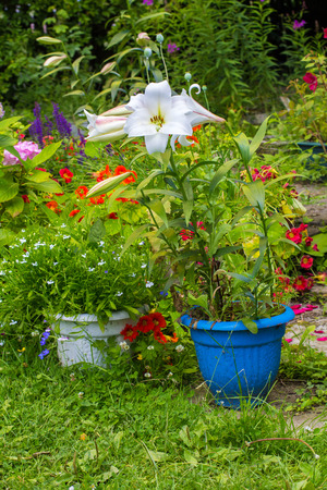 Beautiful home garden in Summer. White lilies in the flowerpot. Stock Photo