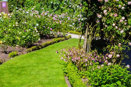 Beautiful rose garden in Summer, UK.