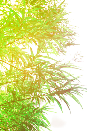 Bamboo plants background Stock Photo