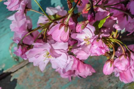 Japanese cherry blossom background