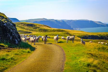 Grazing sheep at beautiful cliffs of Scotland, St Abb's Head, UK 스톡 콘텐츠