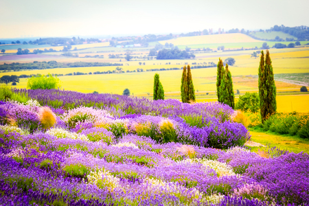 Lavender fields in England, UK Stock Photo