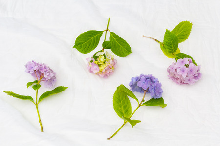 Beautiful, pastel hydrangea flowers on white, delicate background