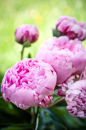 Beautiful peonies in a vase, vintage close up shot Stock Photo