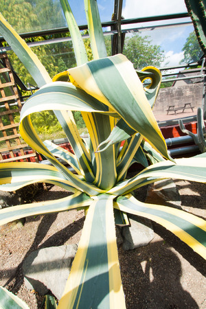 Beautiful agave huge plant in the greenhouse, close up shot