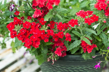 Bright, red verbena in the flowerpot, close up in the home garden