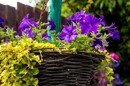 Beautiful, dark violet petunia in hanging basket, home garden Stock Photo