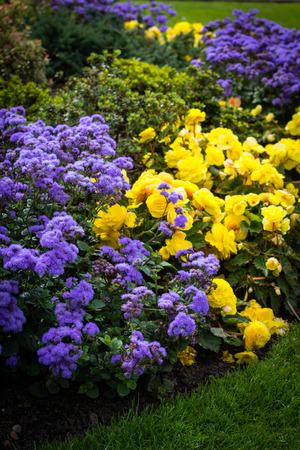 Yellow begonia flowers blooming on the flowerbed with violet flowers 免版税图像 - 112450474