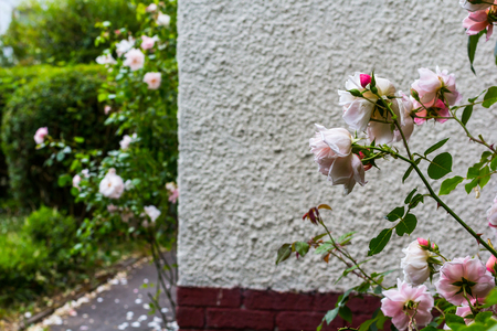 Beautiful, pink pale clmbing roses outside the house