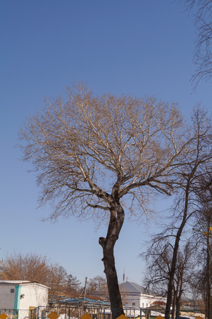 arbol alamo: Lonely poplar tree without leaves and blue sky