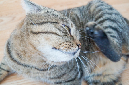 Cute stripped gray cat scratching her ear Stock Photo