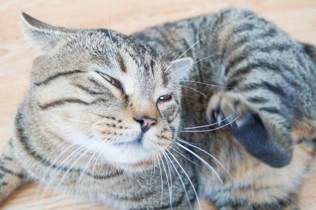 Tabby 회색 고양이가 그의 턱을 긁적입니다. 스톡 콘텐츠