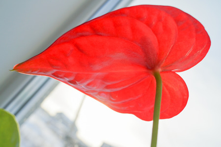 Close up of red anthurium flower in pot on window