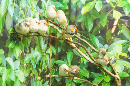 survive: Zebra Finch birds sitting on branches green leaves