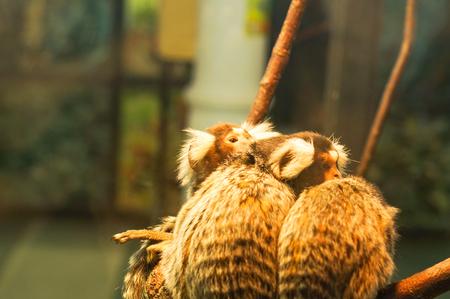 marmoset: Common marmoset small monkey sitting on a branch