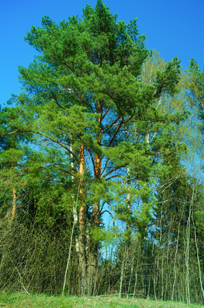 One pine tree and cloudless blue sky Stock Photo