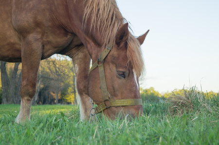 Brown horse eating grass on the field
