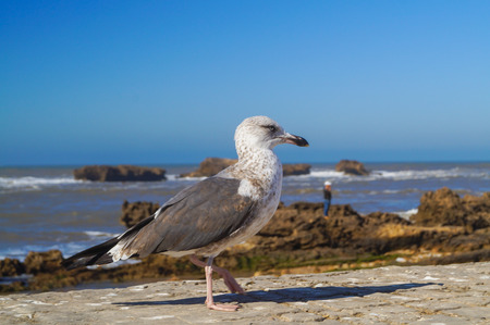 Black-browedalbatross sits on a parapet against the background of the Atlantic Ocean Stock Photo