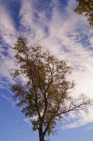 poplar tree in autumn with leaves and sky Stock Photo