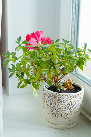 red azalea in a white pot on a white window sill Stock Photo