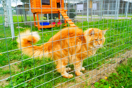Beautiful Red Maine Coon Cat Sitting in zoo