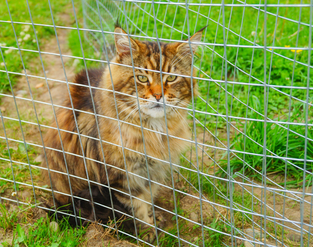 Beautiful Red and black Maine Coon Cat Sitting in zoo Stock Photo