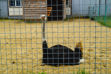 ostrich sits on the ground in a cage of a zoo in Karelia