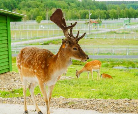 Sika or spotted deers herd in the jungle in Karelia zoo