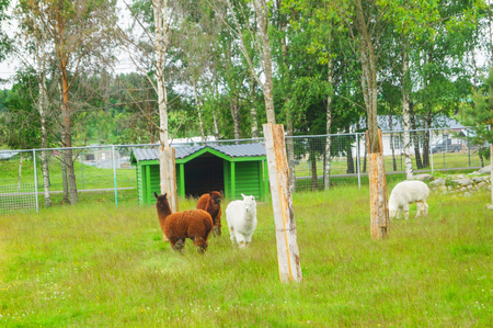 brown and white alpacas in a zoo in Karelia