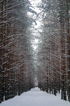 beautiful winter pine alley in the forest. Snow-covered trees. Idyllic landscape.