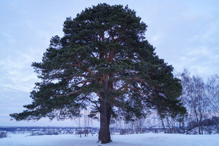 a large pine tree stands alone in winter