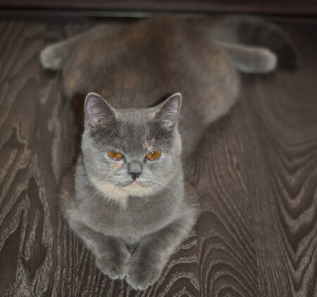 funny scottish cat is lying on the floor, belly down in a string with a displeased face