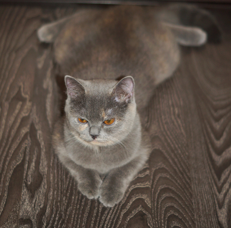 funny grey scottish cat is lying on the floor, belly down in a string with a displeased face