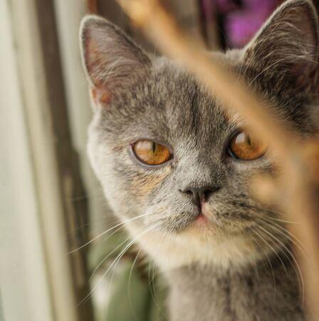 Scottish cat with orange eyes looks into the camera Фото со стока