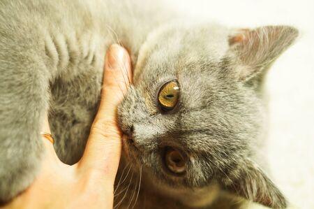 beautiful gray scottish cat with yellow eyes lying on the carpet