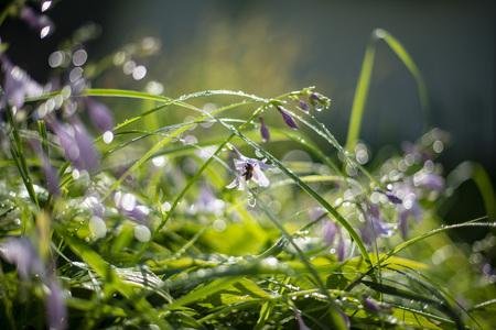 Hosta albomarginata lilac, bee in flower