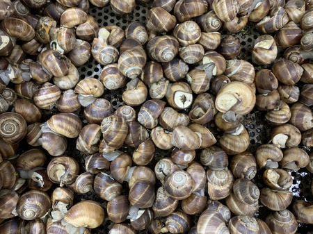 edible snails in the supermarket
