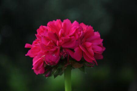 red flower of geranium on green background
