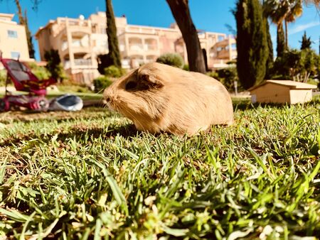 A guinea pig or cavy sitting in a spring field on the grass