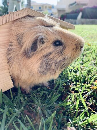 A guinea pig or cavy sitting in wooden small house on the grass in the garden close up