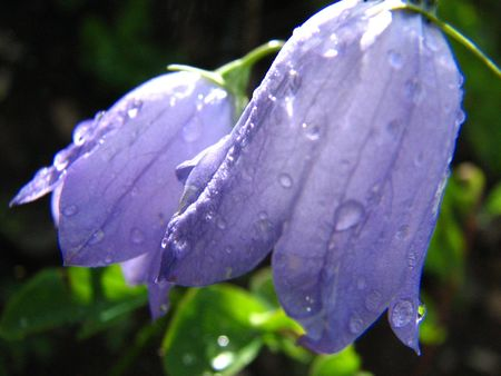 Bluebells with dewdrops