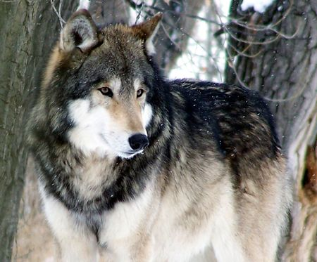 gray wolf: Gray wolf in snow Stock Photo