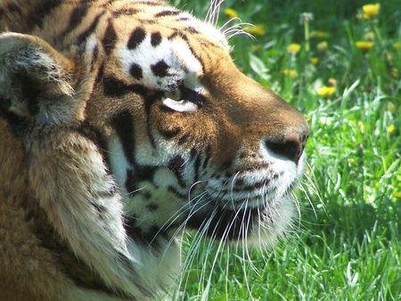Siberian tiger in spring Stock Photo