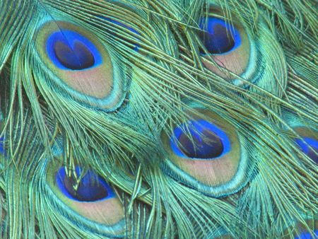 peacock eye: Peacock eye feathers