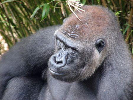 Gorilla contemplating in grass