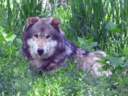 草に敷設灰色オオカミ 写真素材