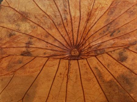 Dried lotus leaf brown