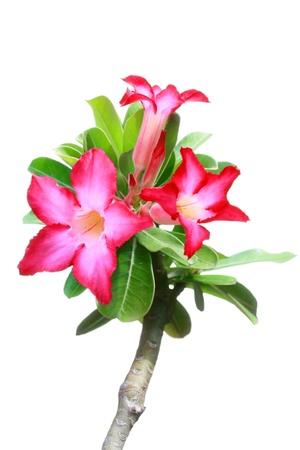 arrow poison: Desert Rose, Impala Lily, Mock Azalea