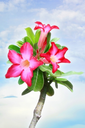 Desert Rose, Impala Lily, Mock Azalea photo