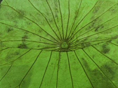 Dried lotus leaf green Stock Photo